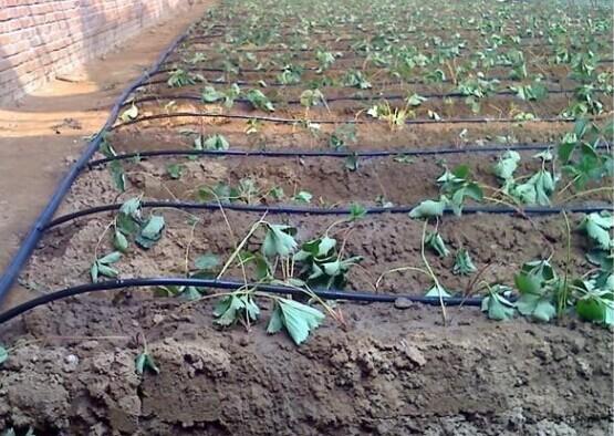 草莓苗工程