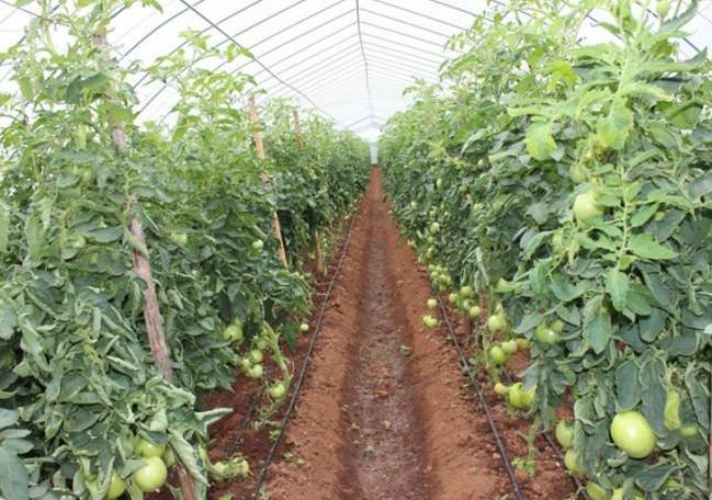 大棚番茄滴灌